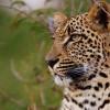Arathusa – Leopard Vignette