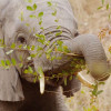 Arathusa – Young Elephant Feeding