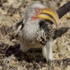 Arathusa – Birds Vignette