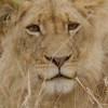 Arathusa – Lion Vignette